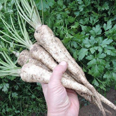 петрушка корневая сахарная выращивание