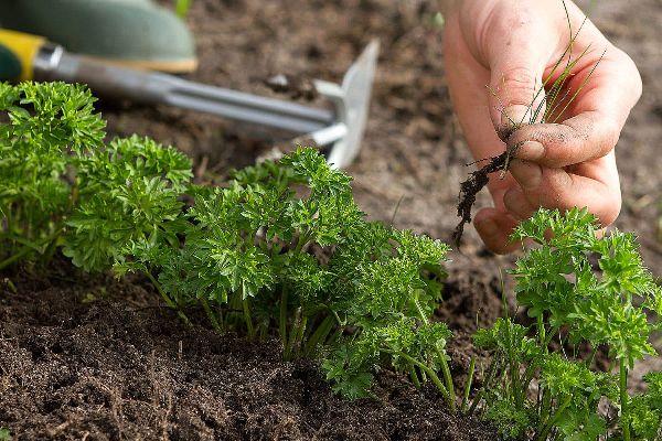 как посадить петрушку в июне