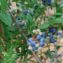 голубика садовая выращивание в сибири