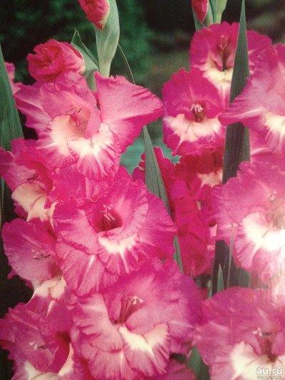 гладиолус валенсия фото и описание сорта