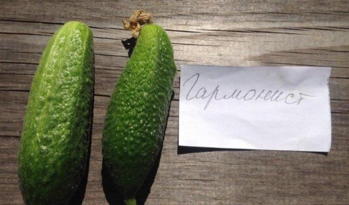 огурцы гармонист описание сорта фото отзывы садоводов