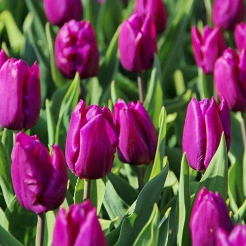 Сорт тюльпанов Перпл принц