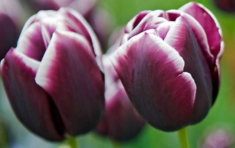 Сорт тюльпанов Триумф Джекпот