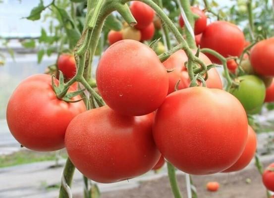 помидоры евпатор описание сорта фото отзывы