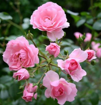 роза боника фото и описание отзывы