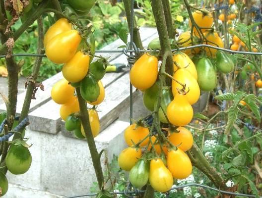 томат золотая капля