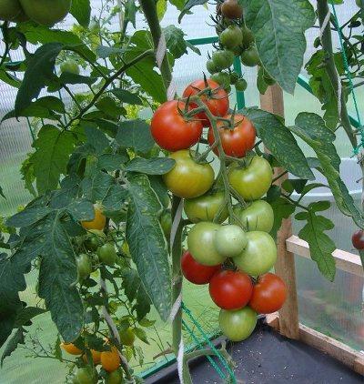 томат интуиция отзывы фото урожайность характеристика