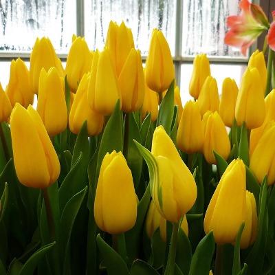 стронг голд тюльпан фото
