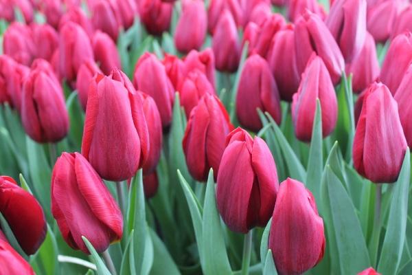 тюльпаны стронг лав описание