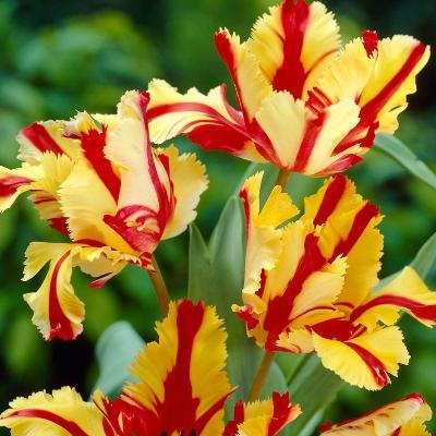 флеминг пэррот тюльпан