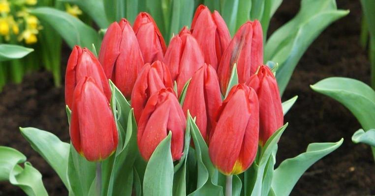 тюльпаны стронг ред