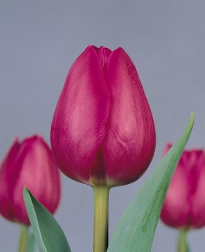тюльпаны стронг рокет