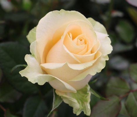роза аваланж пич