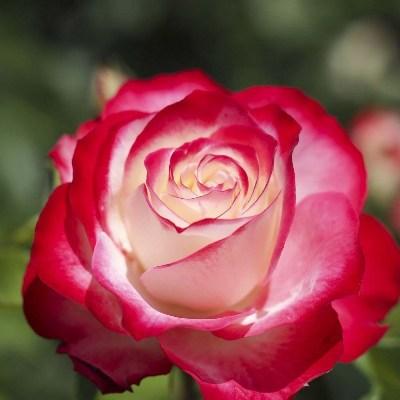 роза принц монако фото и описание отзывы