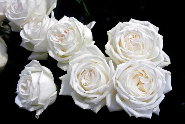 роза пьер ардити