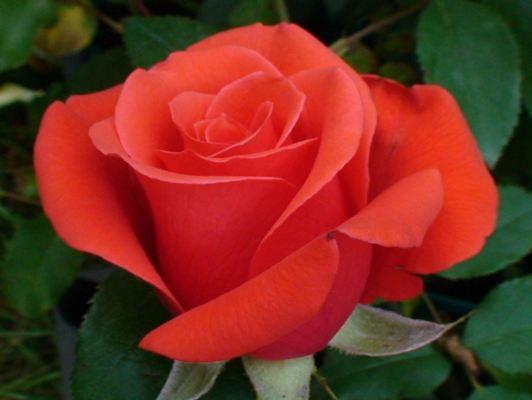 роза анжелика фото и описание отзывы