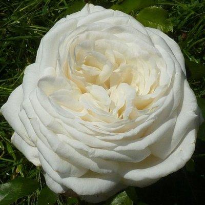 роза пьер ардити фото и описание отзывы