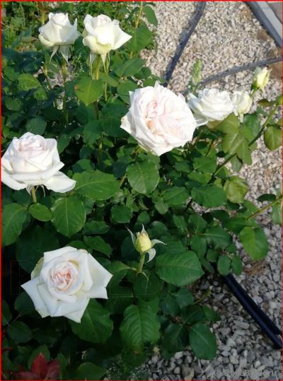 пьер ардити ломоносов роза