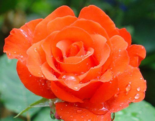 роза анжелика фото и описание отзывы зимостойкость
