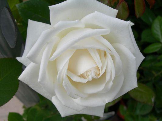 роза пьер ардити фото