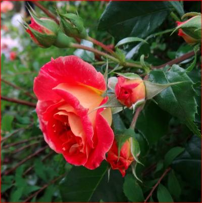 роза чайно гибридная валентина