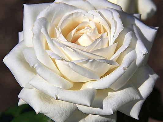роза пьер ардити описание