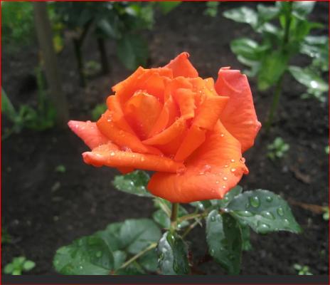 сорт розы валентина цветение