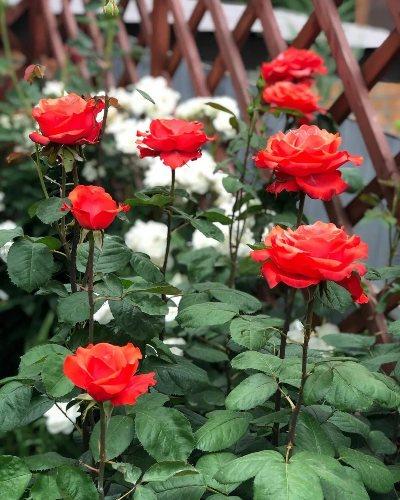 чайная роза анжелика