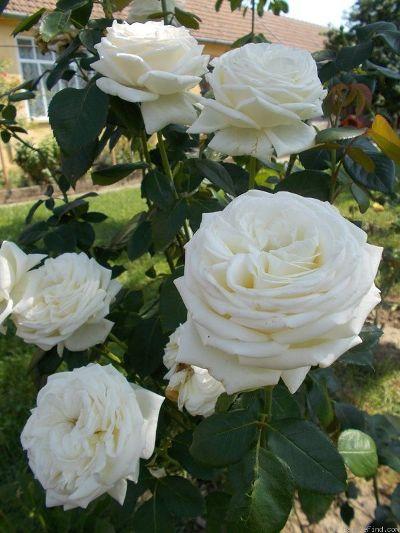 роза чайно гибридная пьер ардити