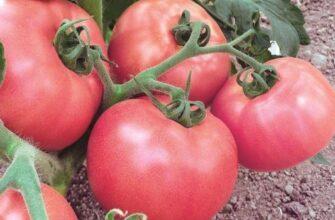 розовый мед помидоры описание сорта фото отзывы